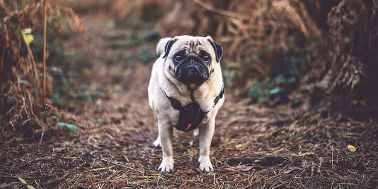 A small dog, pug, on a hiking trail wearing a body harness for hiking which makes it easy for the owner to help the dog over obstacles.