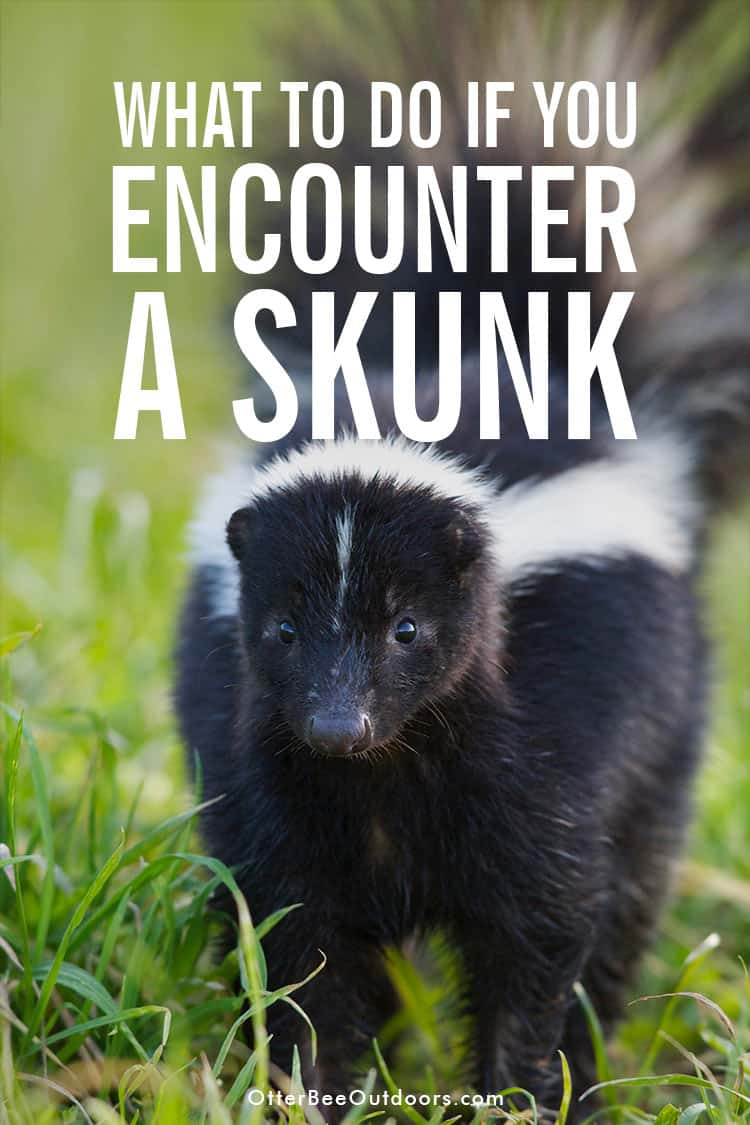 A curious skunk with two white stripes. The image states... What to do if you encounter a skunk.