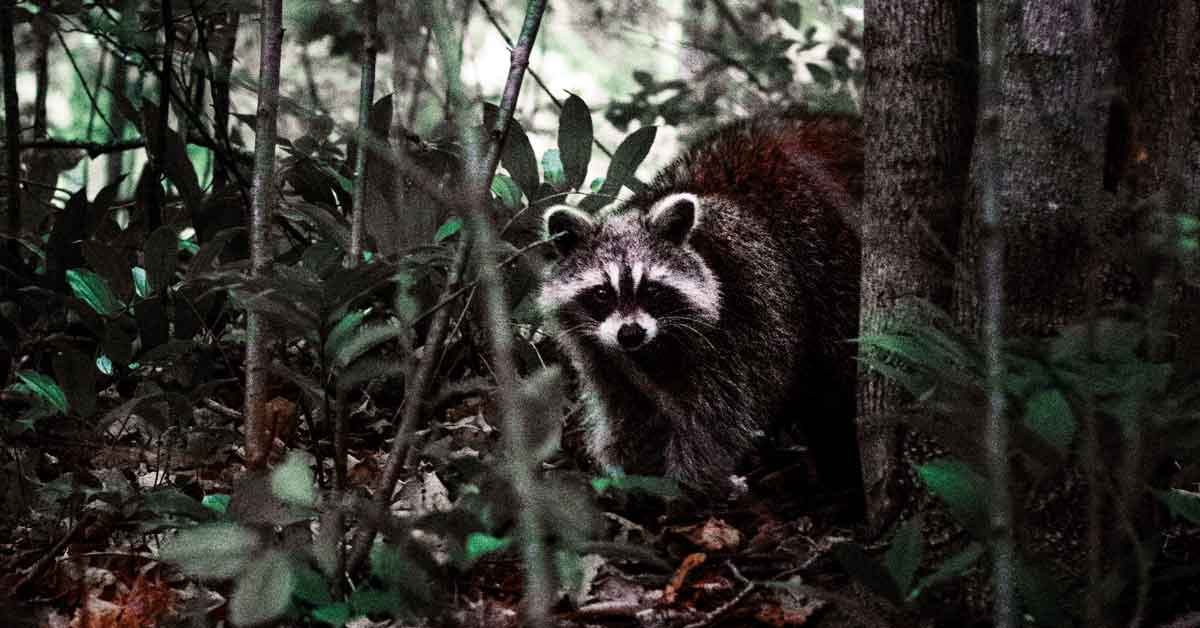 Raccoon sneaking into a campground steal food.