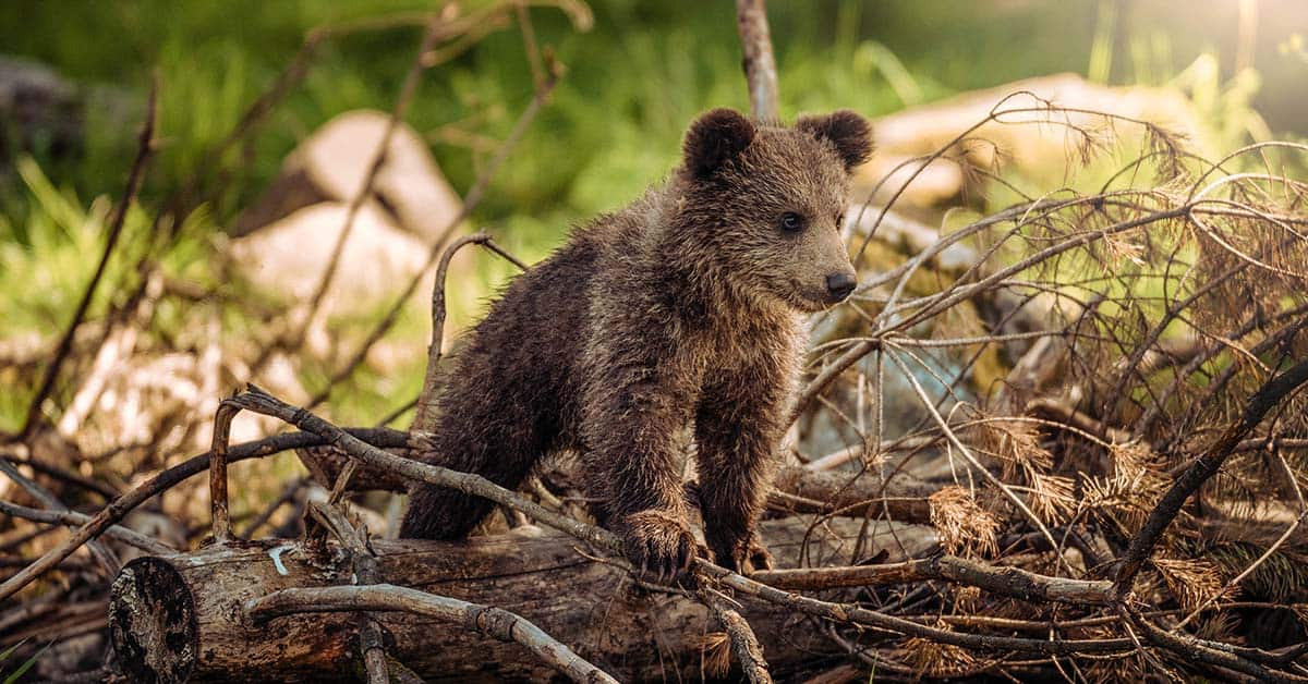 Stay away from baby bears to avoid an attack by momma bear.