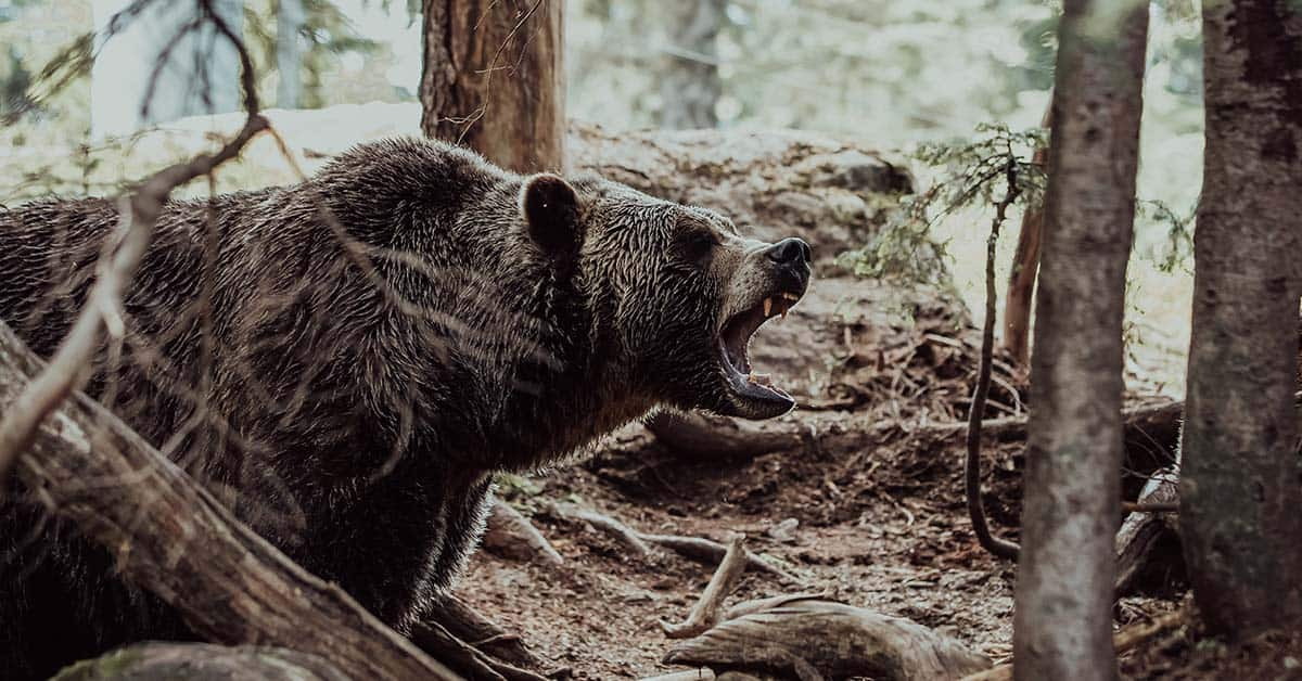 A bear has threatened to attack.