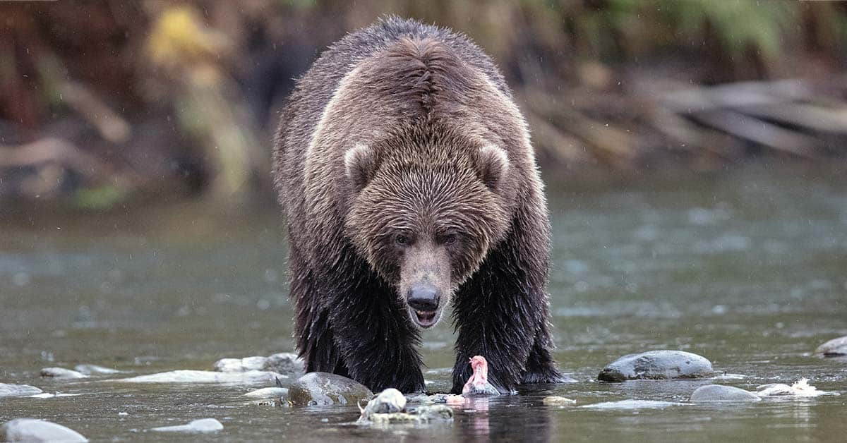 Accidently stumbling on a bear foraging for food.
