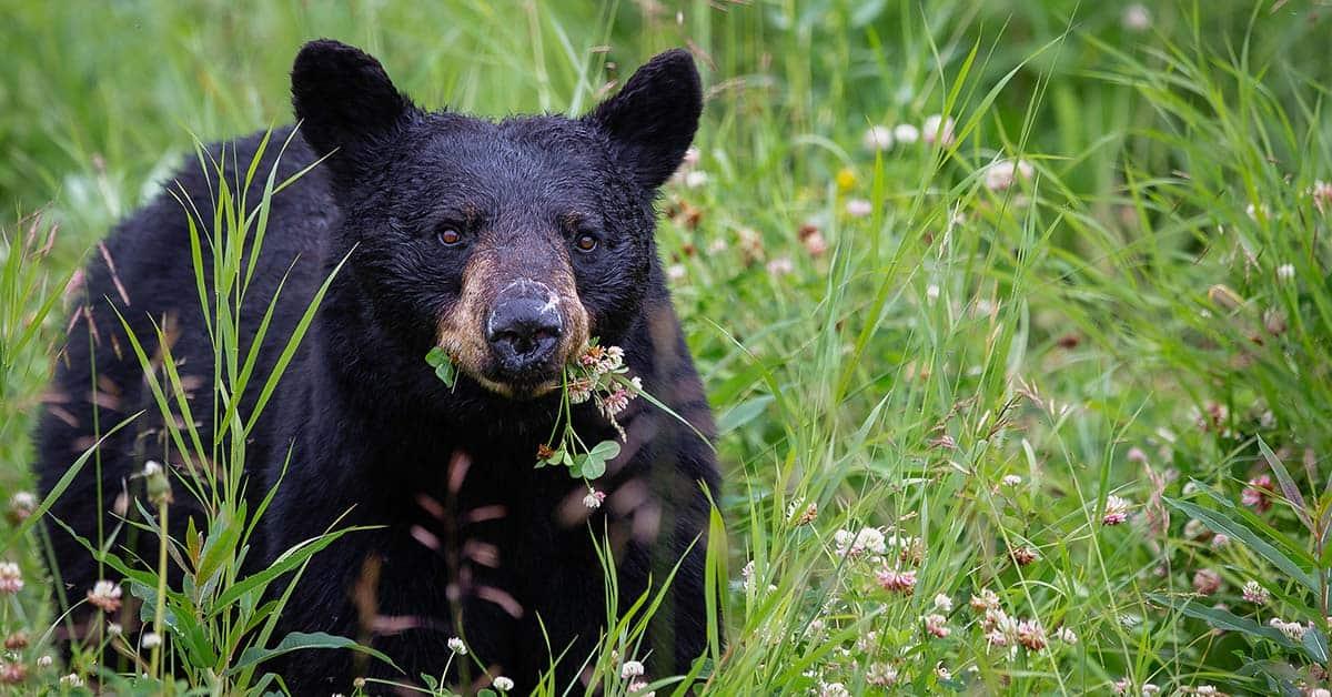 Black bear foraging in a field.
