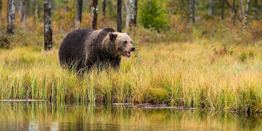 Grizzly bear at the edge of a lake.