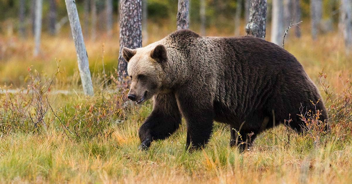 Grizzly bear in the woods.