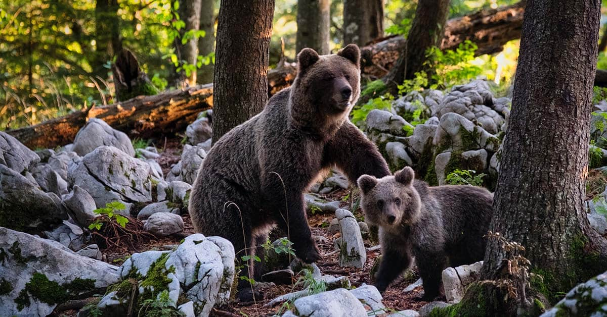 Momma and baby bear in the woods near a campsite.